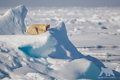 Polar Bear Nap (fascinationwildlife) Tags: animal mammal wiwi wild wildlife nature natur ice floe pack drift polar bear predator eisbr br snow summer arctic cold north norway spitsbergen spitzbergen svalbard nap ocean sea