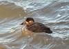Female Surf Scoter (Neal D) Tags: bc surrey crescentbeach bird duck surfscoter female melanittaperspicillata