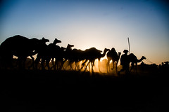 Time to rest at dusk (Karthikeyan.chinna) Tags: karthikeyan chinna chinnathamby canon canon5d canon5dmarkiii travel pushkar india rajasthan animals camel mela herd walk dusk sunlight light play dust sunrays misty sun rays cwc chennaiweekendclickers travelwalk