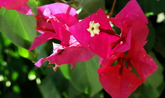 Keep It Simple (Khaled M. K. HEGAZY) Tags: nikon coolpix p520 rassedr egypt nature outdoor closeup macro bougainvillea stamen pistil plant flower petal bud leaf leaves foliage red green white pink