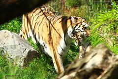 Mama Taxi (Noodles Photo) Tags: dasha arila makar duisburg zooduisburg pantheratigrisaltaica sibirischertiger amurtiger tierkinder cubs cat groskatze tiger raubkatze tigercubs predator