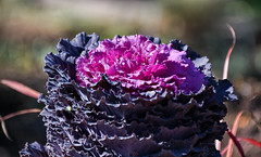 colorful cabbage (Dotsy McCurly) Tags: colorful cabbage lavender purple fall autumn nature beautiful dof bokeh nikon d750 nj frilly pretty