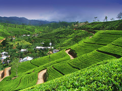 3f433d00a6eb3d8f83918234bab5bec5 (wetravelling) Tags: teaestate mountain landscape tea tree