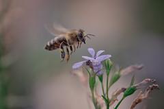 !! (tomi1302 www.tomiburcul.com) Tags: canon 7dmarkii eos tamron 90mm macro closeup flowers nature naturallight bee insects animal zadar croatia