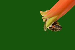 A very sweet flower (Nikos Roditakis) Tags: apiw melifera apidae hymenoptera honey bees flowers aloe vera nikow roditakis nikon d5200 macro tamron af sp 90mm f28 di vc usd