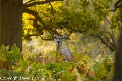 Sika Deer (David Barnes Wildlife Photography) Tags: 1d4 autumn british cervusnippon fauna mammals nature naturephotography sikadeer uk unitedkingdom wildlife