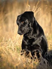 Silent (uwe.kast) Tags: labrador labradorretriever labradorredriver welpe puppy hund dog nikon nikond3 d3