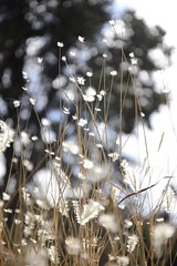 New Mexican Grasses (Oh Ya, Winter's Here..Bring Snow Plz!) Tags: bokeh odc grasses newmexico fluffy white inthebackyard