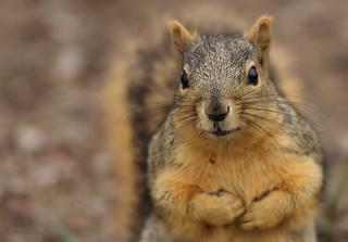 Squirrel, Morton Arboretum. 377 (EOS)