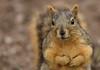 Squirrel, Morton Arboretum. 377 (EOS) (Mega-Magpie) Tags: canon eos 60d nature wildlife outdoor squirrel cute the morton arboretum lisle il illinois usa america dupage