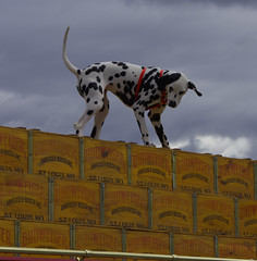 The Budweiser Dalmatian (swong95765) Tags: dalmation budweiser wagon beer crates dog animal cute