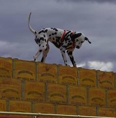 The Budweiser Dalmatian (swong95765) Tags: dalmation budweiser wagon beer crates dog animal cute