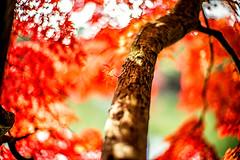 Momiji Branch (moaan) Tags: kobe hyogo japan jp autumn november autumnleaves autumncolors colorsofautumn momiji japanesemaple branch autumnbranch bokeh dof utata 2016 leica mp leicamp noctikux 50mm f10 leicanoctilux50mmf10