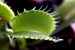 """331/366 - Open your mouth and say """"ah!"""" (Sinuh Bravo Photography) Tags: canon eos7d potd2016 ayearinphotos macro plant dof carnivorous venusflytrap dionaea dionaeamuscipula green"""