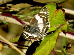 Patchy white - Erichson's white skipper (Heliopyrgus domicella) butterfly, Box Canyon, Tucson, Oct 2016 (Judith B. Gandy) Tags: canyon erichsons skippers butterflies heliopyrgus arizona insects invertebrates lepidoptera tucson boxcanyon erichsonswhiteskipperbutterflies heliopyrgusdomicella