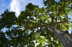 Force tranquille (Atreides59) Tags: arbre arbres tree trees nature vert green ciel sky nuage nuages cloud clouds lyon rhne bleu blue pentax k30 k 30 pentaxart atreides atreides59 cedriclafrance