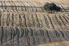 Autumn fields (ramosblancor) Tags: naturaleza nature paisajes landscape mediterrneo mediterranean campodecultivo grainfield cereales dehesa encina holmoak quercusilex atardecer dusk madrid huellas tracks