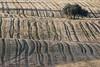 Autumn fields (ramosblancor) Tags: naturaleza nature paisajes landscape mediterráneo mediterranean campodecultivo grainfield cereales dehesa encina holmoak quercusilex atardecer dusk madrid huellas tracks