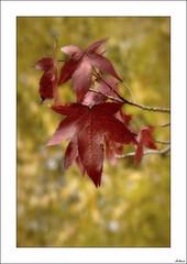 El otoo del otoo (V- strom) Tags: otoo naturaleza nikon nikon2470 nikon50mm amarillo rojo flora texturas