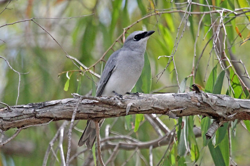 White-bellied Cuckoo Shrike
