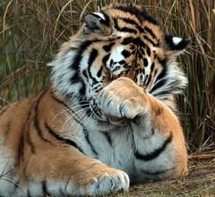 siberian tiger Beekse Bergen JN6A5208 (j.a.kok) Tags: tijger tiger siberischetijger siberiantiger pantheratigrisaltaica beeksebergen mammal zoogdier predator roofdier kat cat azie asia siberie