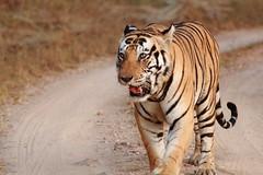 Munna - within hand-shaking distance (Chandrasekhar Bhattacharya) Tags: tiger kanha forest kisli jungle royalbengaltiger