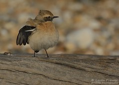 Desert Wheatear, Oenanthe deserti (Nature Exposed) Tags: desertwheatear wheatear passerine birds bird birdphotography leighprevost leighprevostphotography wildlife wildlifephotography wild nature natureexposed naturephotography sussex eastsussex sussexbirding sussexbirders sussexwildlife sussexbirds autumnmigration bbcautumnwatch