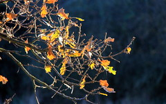 golden oak (herefordcat) Tags: autumn leaf fall branches oak gold