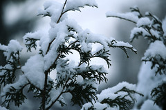 Winter Is Magical (Rosemary Danielis) Tags: winter trees snow cedars depthoffield plants nature outdoor