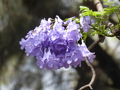 Full of jacaranda blossom (prondis_in_kenya) Tags: kenya nairobi shortrains jacaranda blossom bloom flower purple tree