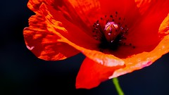 Happy Poppy (Ookpik Photo Video Drone) Tags: happy macromondays itsalive red rouge rosso flora fleure plante flowers flower art summer mm hmm sunset light golden panasonic gh4 lumix fleur poppy pavot mak contrast rural nature black gift sun garden country decoration 7dwf