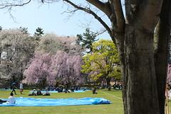 festival of cherry blossoms at Hirosaki 2014429 (Tokutomi Masaki) Tags: trip travel flower japan cherry blossoms aomori  sakura hirosaki    2014