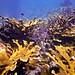 Elkhorn Coral Cluster on Looe Key