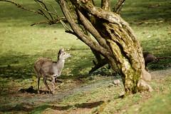 Deer & Pig (Vlachbild) Tags: nature animal germany mammal deutschland pig natur daily deer allemagne germania naturephotography  almanya outdoorphotography  skaland    photobig minoltaaf20028apo sonyslta99