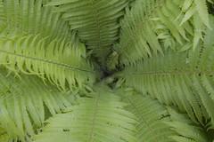 Fern (Xtraphoto) Tags: fern green leaves canon eos leaf view natur pflanze grn blatt bltter blick farn 30d
