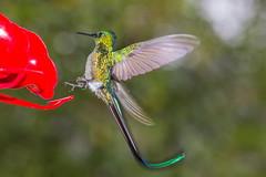 Colibr (Jos M. Arboleda) Tags: bird canon eos colombia hummingbird jose ave 5d colibr arboleda markiii trochilidae ef70200mmf4lisusm apodiforme josmarboledac troquilinos naturesplus