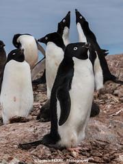 Adlie penguins (Ignacio Ferre) Tags: bird penguin antarctica ave pjaro pingino antrtida pygoscelisadeliae adliepenguin pinginodeadelia
