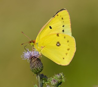 Clouded Sulphur With Pink Wing-Edges