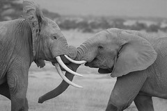 The big fight! (Rainbirder) Tags: kenya ngc africanelephant amboseli loxodontaafricana rainbirder