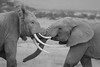 The big fight! (Rainbirder) Tags: kenya ngc africanelephant amboseli loxodontaafricana rainbirder