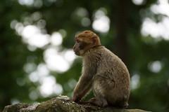 little monkey (pt.1) - Barbary Macaque - Berberaffe (okrakaro) Tags: portrait nature animal juni germany zoo monkey little bokeh natur seated kleiner affe rheine 2015 sitzend berberaffe barabrymacaque