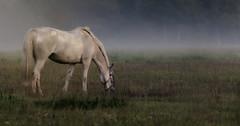 horse in eveningmist (Robert Björkén (Hobbyfotograf)) Tags: horse mist misty fog evening farm wildlife mystic inspiring 135mm dimma häst betar canon60d canon135mmf20