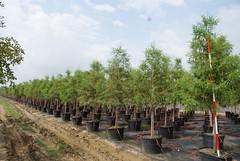 30g Bald Cypress