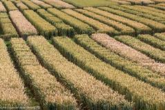 Grainy (2) (pereng_73) Tags: lines yellow landscape skne sweden farm wheat grain farmland growing straight nourish