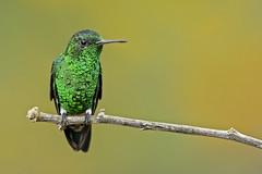 Amazilia saucerrottei - Steely-vented Hummingbird - Amazilia Verdiazul - Amazilia Coliazul 86 (jjarango) Tags: birding aves capture birdwatching nxd avesdecolombia birdsofcolombia birdingcolombia