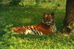 The Royal Bengal Tiger (iMROSE RASEL) Tags: green nature animal canon eos zoo tiger resting 75300mm dslr ef zoology bengaltiger royalbengaltiger 1000d kissf