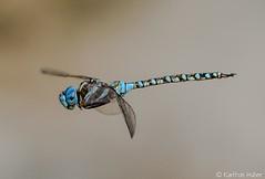 San Joaquin Wildlife Refuge - 13731 (www.karltonhuberphotography.com) Tags: nature face insect inflight wings pond eyes legs dragonfly body perched marsh resting southerncalifornia naturalworld selectivefocus 2014 nikond7000 sanjoaquinwildliferefuge karltonhuber