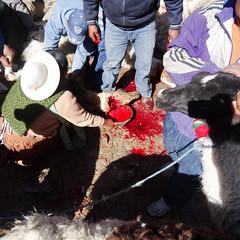 The llama dies