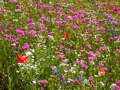 P7181980 Astrids Blumenwiese 2014 (fotoculus) Tags: flowers flores fleur germany deutschland flora hessen blossoms blumen blten rheinmaingebiet dreieichoffenthal