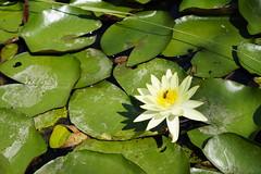 Water lily (ddsnet) Tags: camera plant flower lens waterlily sony taiwan resolution   taoyua